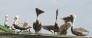 Pelicans on Dock 1