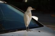 Car Egret