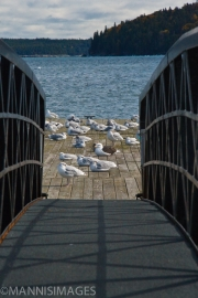 Seagulls on Dock