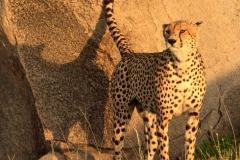 Cheetah Marking