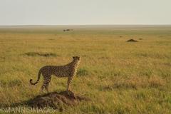 Cheetah On Mound