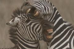 Zebra Battle