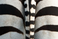 Zebra Tail