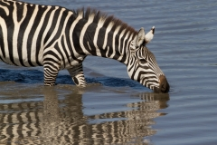 Zebra Reflection