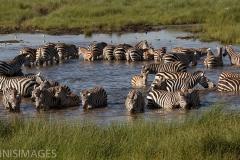 Zebra Circle