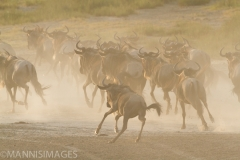 Wildebeest 3