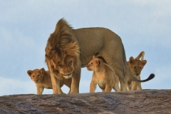 Lion With Cubs 1