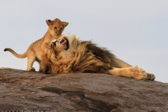 Lion With Cubs 2