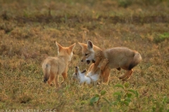 Jackals Playing