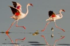 Strutting Flamingos