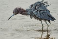 Little Blue Heron 2
