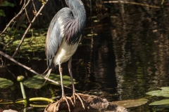 Tricolored Heron 5