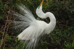 Great White Egret 2