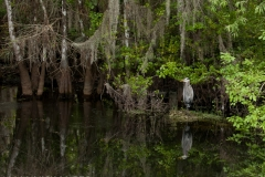 Heron in Cypress Swamp