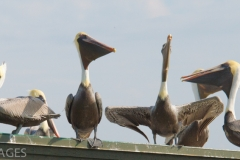 Pelicans on Dock 1