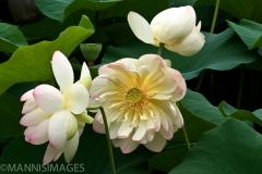 Sacred Lotus 1