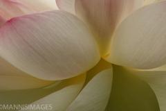 Sacred Lotus 3