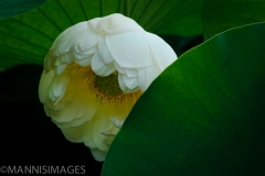 Sacred Lotus 4