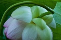 Sacred Lotus 5