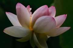Sacred Lotus 6