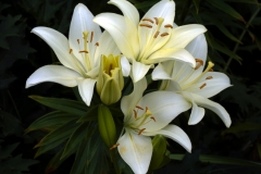 Day Lily 7