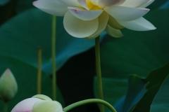 Sacred Lotus 7