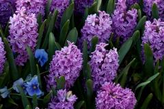 Hyacinth 2
