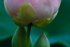 Sacred Lotus 9