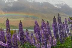 Lake Wakatipu Lupin with Rainbow 1
