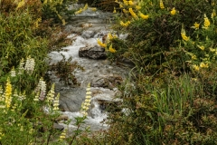 Lake Wakatipu Lupin 4