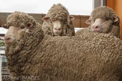 Wrinkley Rams