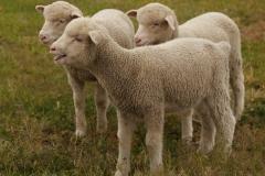 Wrinkley Lambs 2