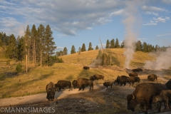 Yellowstone Bison 1