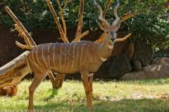 Lesser Kudu 2