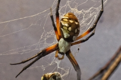 Black and Yellow Angiope Spider