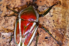 Derbyana Flower Beetle