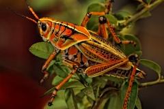 Lubber Grasshopper